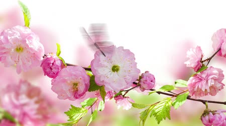 cereja : Pink flower of an Oriental cherry and butterfly video