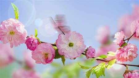 virágmintás : Pink flower of an Oriental cherry and butterfly video