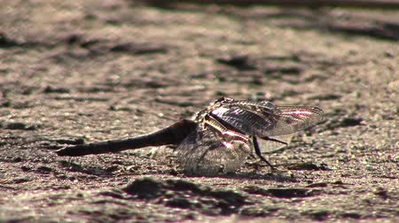 coleopteres : Dragonfly sitting on dirt ground then fly away  new unique quality joyful nature close up