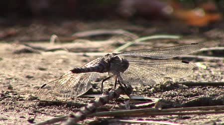 coleopteres : Dragonfly sitting on dirt ground then fly away ants running around  new unique quality joyful nature close up