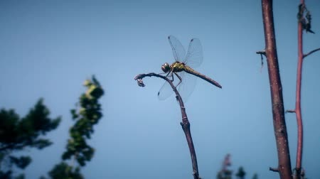 coleopteres : dragonfly sitting on branch fly away and return on blue sky background  new quality unique nature animal video footage