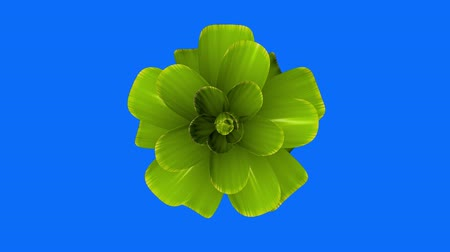 perene : opening long blooming green flower time-lapse 3d animation isolated on chroma key green screen background new quality beautiful holiday natural floral cool nice 4k video footage Stock Footage