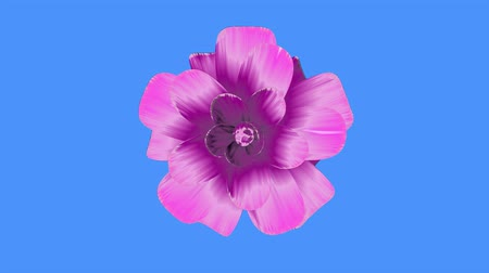 perene : opening long blooming purple flower time-lapse 3d animation isolated on chroma key green screen background new quality beautiful holiday natural floral cool nice 4k video footage Stock Footage