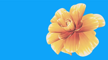 trvalka : opening long blooming yellow flower time-lapse 3d animation isolated on chroma key green screen background new quality beautiful holiday natural floral cool nice 4k video footage Dostupné videozáznamy