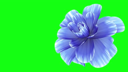 perene : opening long blooming blue flower time-lapse 3d animation isolated on chroma key green screen background new quality beautiful holiday natural floral cool nice 4k video footage