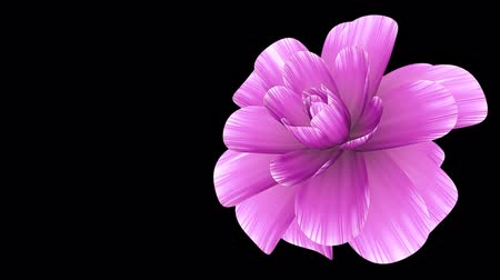 trvalka : opening long blooming pink flower time-lapse 3d animation isolated on background new quality beautiful holiday natural floral cool nice 4k video footage