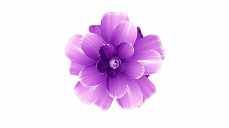 piwonia : opening long blooming purple flower time-lapse 3d animation isolated on background new quality beautiful holiday natural floral cool nice 4k video footage Wideo