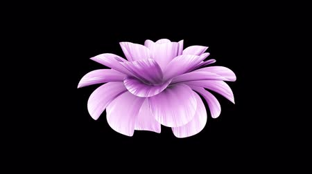 trvalka : opening long blooming purple flower time-lapse 3d animation isolated on background new quality beautiful holiday natural floral cool nice 4k video footage Dostupné videozáznamy