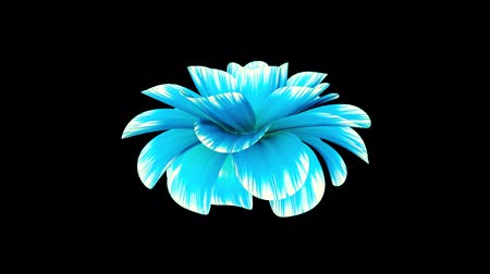 piwonia : opening long blooming blue flower time-lapse 3d animation isolated on background new quality beautiful holiday natural floral cool nice 4k video footage