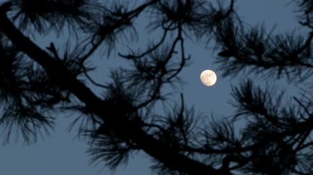 night scene : Mysterious Full Moon In Raise, Moonlight Through Pines Tree Branches