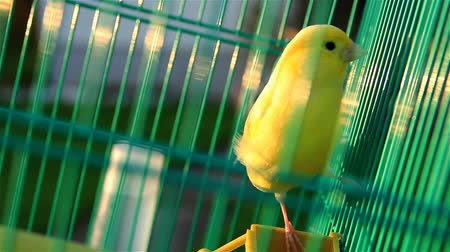 kanarya : Beautiful Yellow Canary Singing in a Green Cage Close Up. A canary singing and jumping around in a green cage.