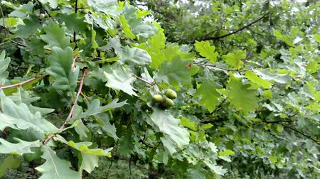 odejít : Green oak with acorns in summer day
