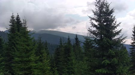 lucfenyő : Spruce mountains and sky Environment in sunny day ature in the Carpathians Green color landscape nature