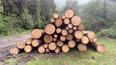 picado : Spruce logs are harvested and prepared for transportation in Karpathians forest Pine trees trunks felled timber industry Landscape with large woodpile nature