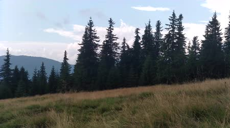 The wind moves the grass Spruce mountains and sky Environment in sunny day ature in the Carpathians Green color landscape nature