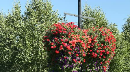 rostoucí : Very large and beautiful red and purple petunia hanging flower baskets with green leaves hanging from a light pole in a public park on a sunny summer day with a blue sky and trees in the background.