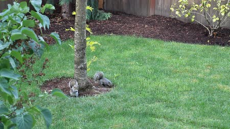 trawnik : Two Squirrels Eating Sunflower Seeds on the Grass in a Back Yard