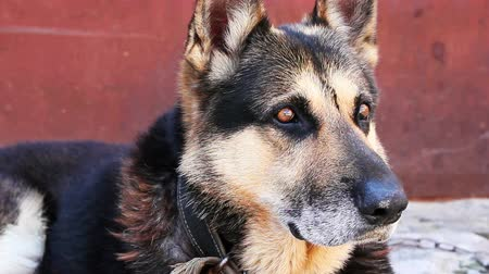 almanca : German shepherd dog sitting, close-up. Stok Video