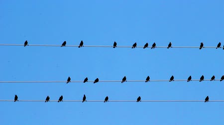 kable : Birds sitting on wires against a blue sky.