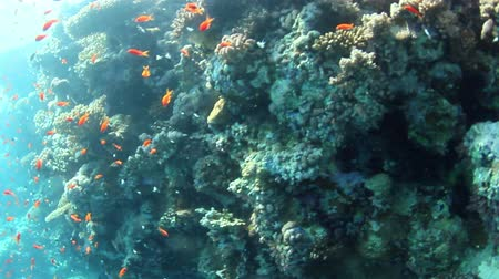 potápěč : Tropical coral reef and fishes on Red Sea.