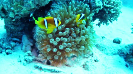 rafa : Twoband anemonefish (Amphiprion bicinctus) in the Red Sea, Egypt.
