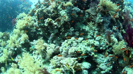 sualtı : Tropical coral reef and fishes on Red Sea.