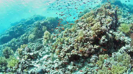 podwodny swiat : Tropical coral reef and fishes on Red Sea.