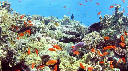 podwodny swiat : Tropical coral reef and small fishes in the Red Sea. Wideo