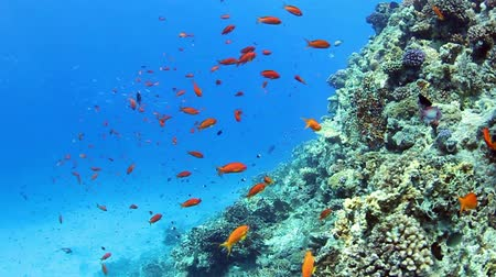 rafa : Tropical coral reef and small fishes in the Red Sea. Wideo