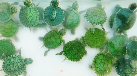 scripta : a small green turtle top view. Stock Footage