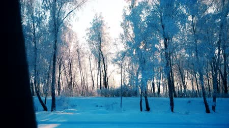 winter forest at dawn