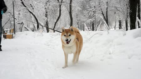 shiba inu : Man walks with a dog in a snowy park. Its snowing, trees in the snow, Shiba Inu