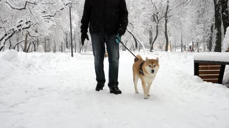 shiba inu : A man walks with a funny dog in a snowy park. The dog smiles, licks, walks funny