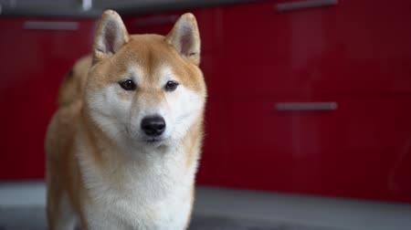 shiba inu : Dog licking his lips. It looks fun. The pet looks around, then leaves the frame
