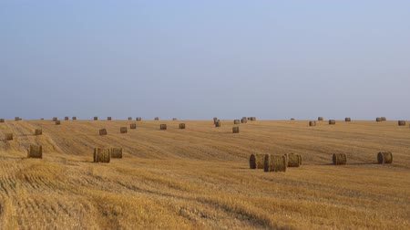 hay harvest : Huge amount of hay harvested in bales on an agricultural field Panoramic view 4K
