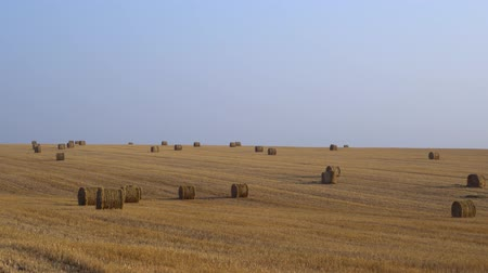 hay harvest : Walk on a rural wheat field, on background large amount of hay rolled into bales