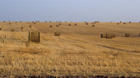 rotoballe : Large agricultural field. Huge amount of harvested hay, rolled into bales. 4K Filmati Stock