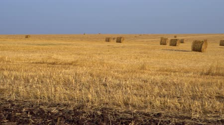 hay fields : Large agricultural field. Huge amount of harvested hay, rolled into bales. 4K Stock Footage