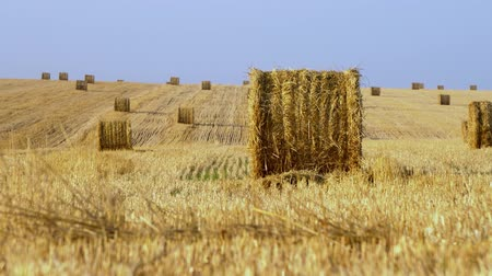 hayloft : Large agricultural field dotted with golden bales of hay in the background. 4K