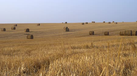 összeg : Walk on a rural wheat field, on background large amount of hay rolled into bales