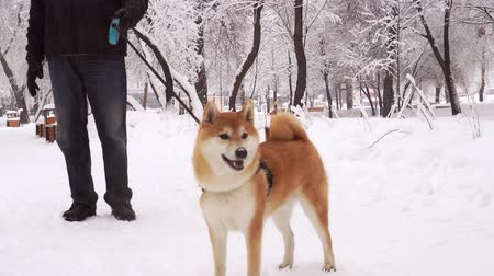 shiba inu : Man is walking in the park with a beautiful, red dog, Shiba Inu breed. Snowfall