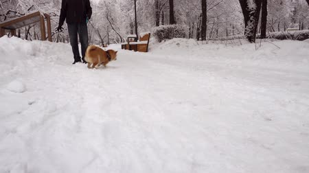 shiba inu : Cheerful dog, having fun and running around a man. Snowing. Winter. Shiba Inu Stock Footage