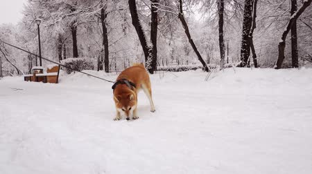 shiba inu : Dog breed Shiba Inu, has fun playing with snow. Winter day. Trees under the snow Stock Footage
