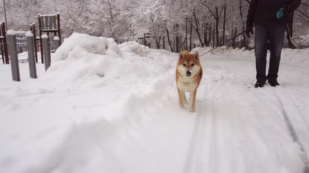 Man is walking in the park with a beautiful, red dog, Shiba Inu breed. Snowfall