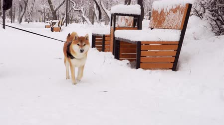 shiba inu : Winter, snowy day. A man with his dog, breed Shiba Inu, walks in the park. 4K Stock Footage