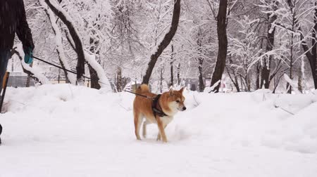 shiba inu : Man walking a dog. Winter day, snowfall, everything is covered with snow. 4K