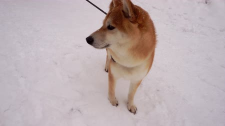 芝 : Red dog, Shiba Inu breed, close-up top view. Pet is standing on a snowy sidewalk