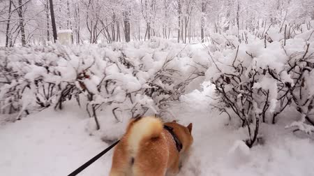 shiba inu : Winter day. Dog makes its way through the snow drifts and passes through bushes