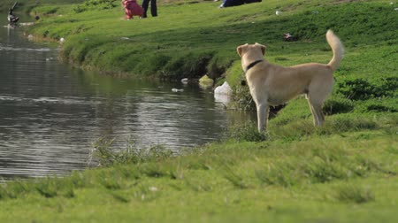 köpek yavrusu : Labrador chases doves in the park on the lake Stok Video