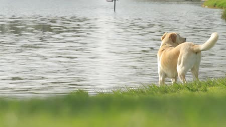 лабрадор : Labrador is on the lake in the park
